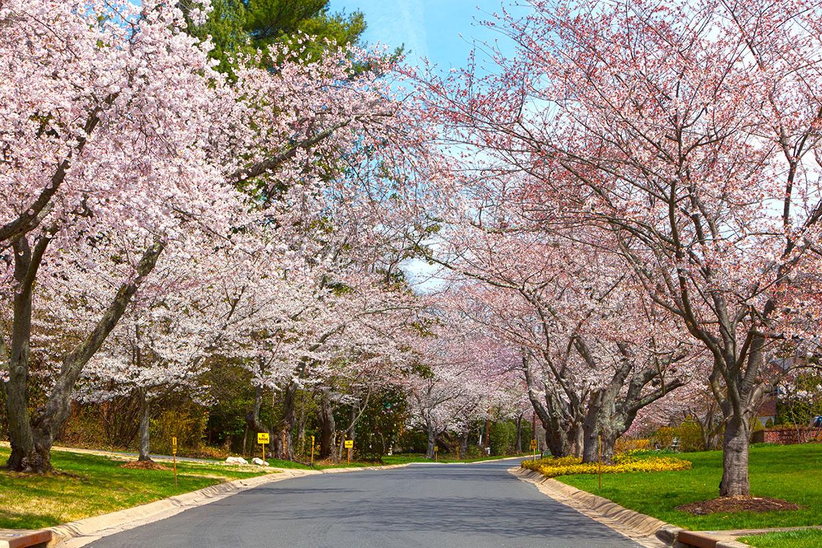 Cherry Blossoms at the Kenwood neighborhood near Bethesda, Maryland