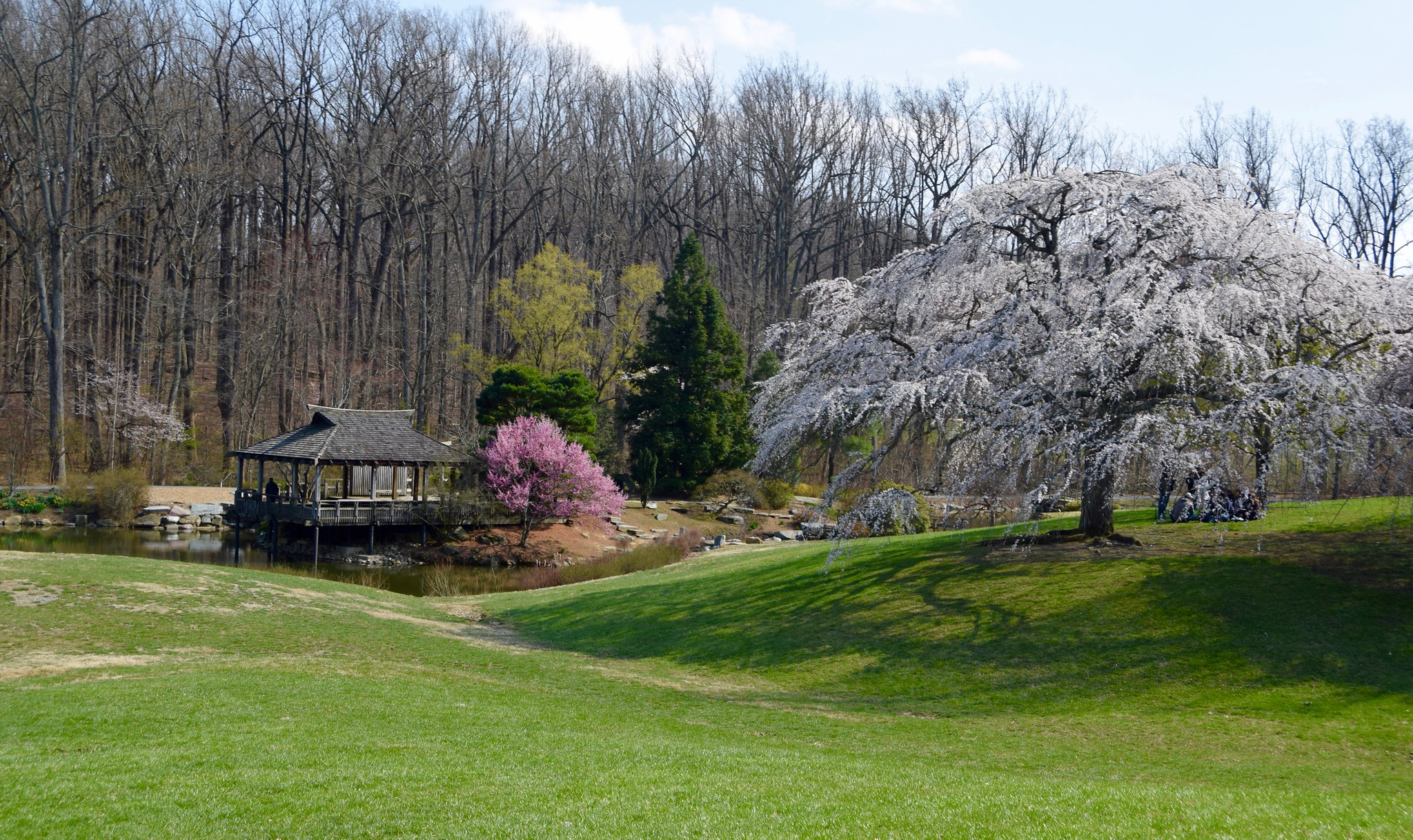 Brookside Gardens Cherry Blossoms Maryland